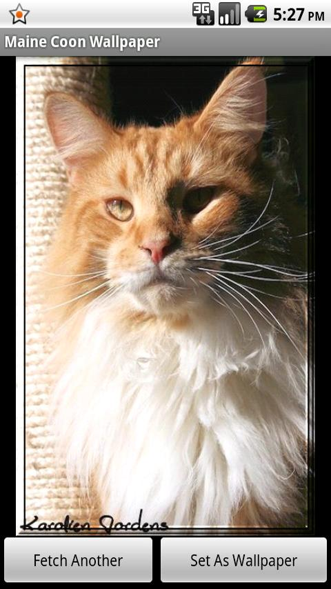 Maine Coon Wallpaper for